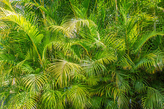Green leaves of Areca palm trees with sunlight reflecting on them, abundant green foliage, sunny spring day in Mexico
