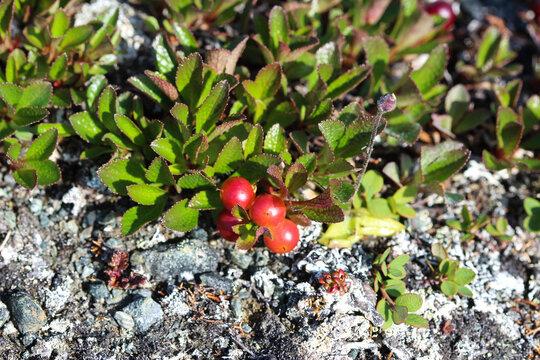 Arctostaphylos uva-ursi low shrub, also known as Kinnikinnick or bearberry