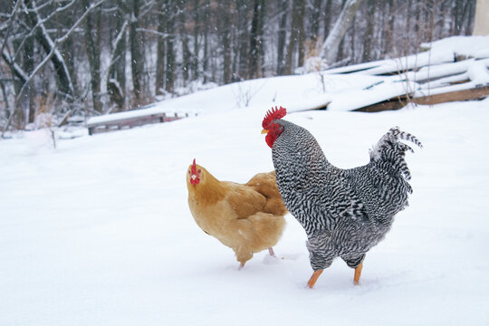 Buff Orpington Hen and Barred Plymouth Rock Rooster Together in Snow
