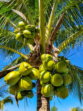 Green fresh Coconuts