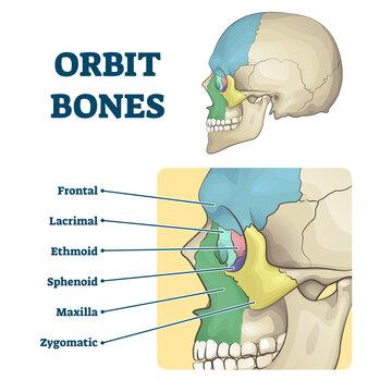 Orbit bones labeled educational skeletal division scheme vector illustration