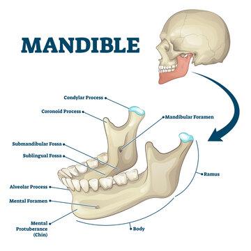 Mandible jaw bone labeled anatomical structure scheme vector illustration