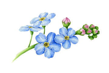 Blue forget-me-not flower with buds watercolor illustration. Hand drawn myosotis meadow herb botanical element. Tender spring romantic blooming flowers on the stem isolated on white background