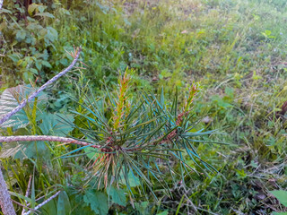 Young spring pine shoots. Coniferous trees. Spring, forest. Nature.