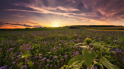 Sonnenuntergang an einer Blumenwiese