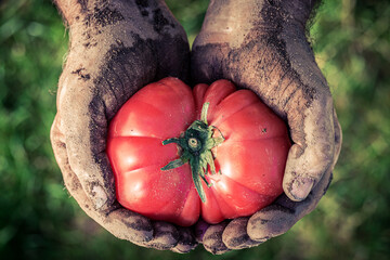 Closeup of tomato holding by dirty hands