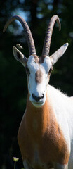 Fototapeta Addax, also known as the white antelope and the screwhorn antelope, is an antelope of the genus Addax, that lives in the Sahara desert.