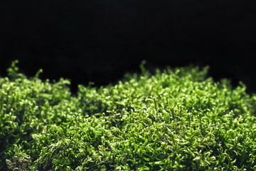 Beautiful forest moss on black background. Natural backdrop for your design, soft focus