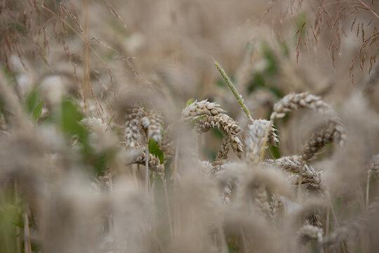 Ein Weizenfeld in Berghohen bei Eching