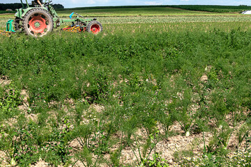 Organic farming in Germany- Fennel field in midsummer - Weed killing with agricultural machinery without chemicals.