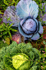Two beautiful cabbage heads growing in a field in midsummer- blue and violet red cabbage and green savoy cabbage
