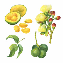 "Set of Pequi tree or ""souari nut"" (Caryocar brasiliense, known as Pequi in central Brazilian cerrado habitat) with flowers. Watercolor hand drawn painting illustration isolated on white background."