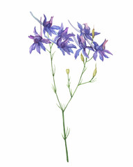 Closeup of a branch of the field larkspur flowers (known as Consolida regalis, rocket-larkspur). Watercolor hand drawn painting illustration isolated on white background.