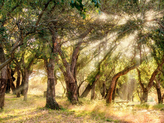 """big cork oaks in the andalusian countryside. during summer, """"Parque de los alcornocales"""", Los Barrios, Andalusia, Spain, Europe"""