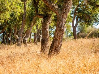 "big cork oaks in the andalusian countryside. during summer, ""Parque de los alcornocales"", Algeciras, Andalusia, Spain, Europe"