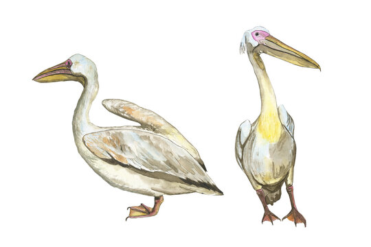 Two giant pelicans isolated on white background. Watercolor realistic hand drawing illustration of Pelecanus rufescens bird. Perfect for poster, print, cover, banner.