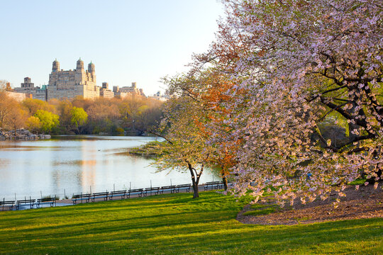Cherry blossom at the Lake at Central Park and skyline of apartment buildings in upper west side Manhattan