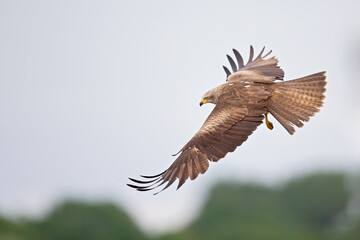 A black kite (Milvus migrans) flying in the morning light in Germany. Fotomurales