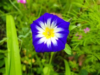 dwarf glory bind also dwarf morning glory (in german Dreifarbige Winde also Dreifarbige Gartenwinde) Convolvulus tricolor