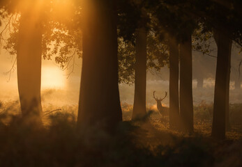 A red deer stag (Cervus elaphus) waits between the trees one stunning misty autumn sunrise in Richmond Park, Richmond, Greater London