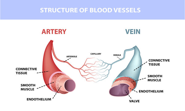Healthy artery and vein anatomy, layers of arteries and veins, medical illustration