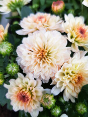 Chrysanthemums (In german Chrysanthemen) Chrysanthemum (Patio Mum)