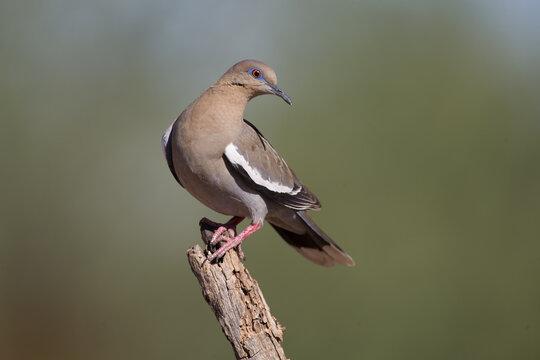 White-winged Doves in Arizona Desert