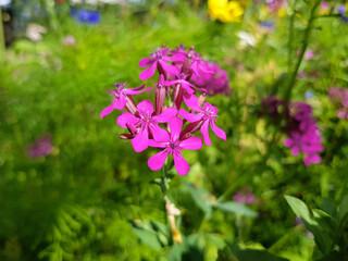 dwarf catchfly also garden catchfly (in german Nelken-Leimkraut also Garten-Leimkraut or Morgenröschen) Silene armeria