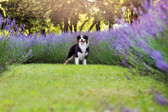 Standing aussie dog against lavender flower bed
