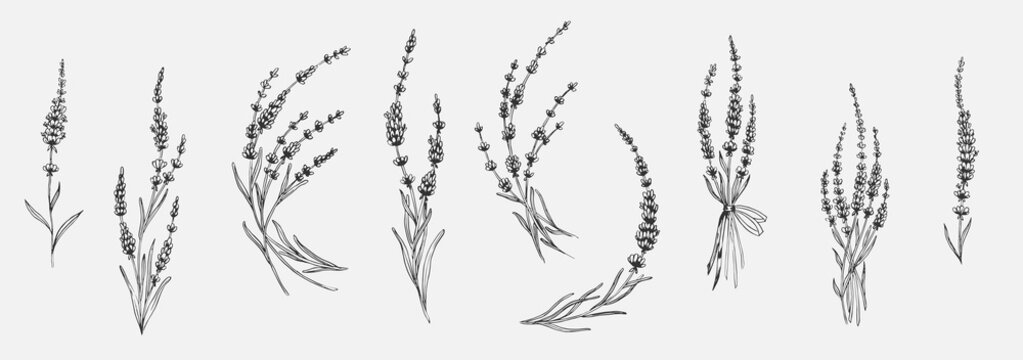 Set of floral elements for design - lavender, lavandula branch. Sketch element for labels, packaging and cards design.