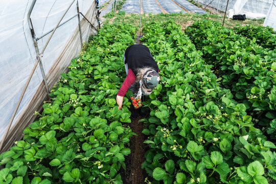 Woman harvesting fresh organic strawberries at greenhouse