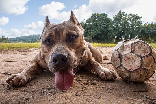 pitbull monster