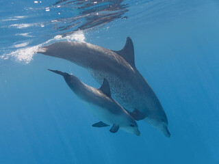 Cute baby dolphin playing with mother in the blue water of tropical sea
