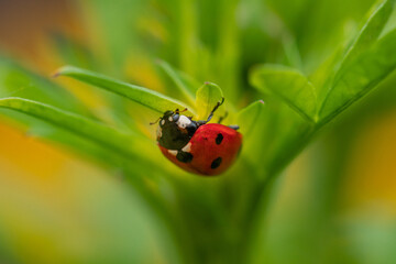 Close-up of a ladybug on green leaves