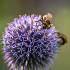 Close-up of a bumblebee on violet flower