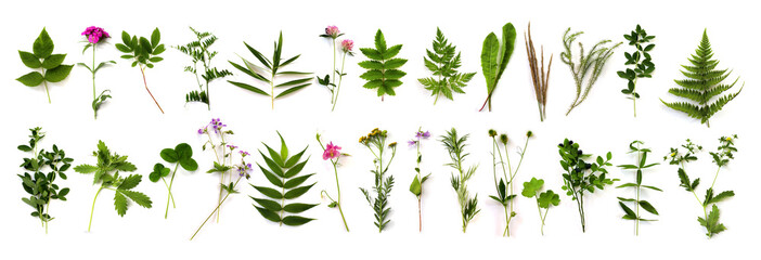 herbarium of various plants on a white background. Freshly cut plants. Botanical collection. Forest flowers, herbs, berries