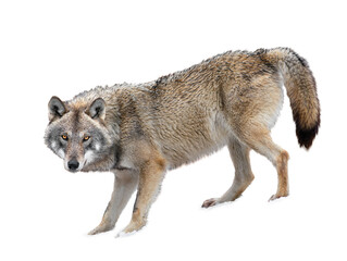 Photo sur Plexiglas Loup Gray Wolf is isolated on a white background.