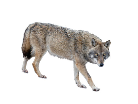Walking gray wolf isolated on white