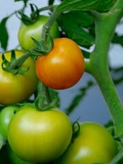 Tomaten an Pflanze reif und unreif