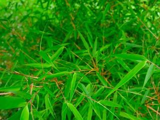 Bambus, Blätter, exotische Pflanze