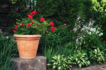 Aluminium Prints Azalea Beautiful red geranium flower in a clay pot in summer garden.