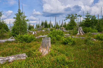 Dead forest on Dreisesselberg mountain. Border of Germany and Czech Republic. Natural forest regeneration without human intervention in national park Sumava (Bohemian Forest)