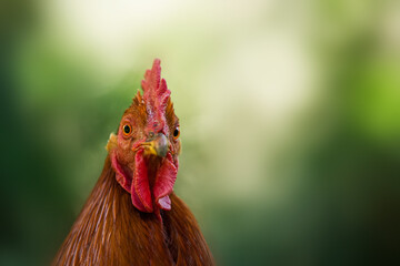 Portrait of a rooster in a green meadow