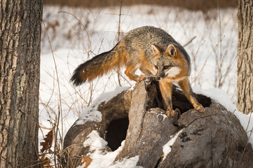 Wall Mural - Grey Fox (Urocyon cinereoargenteus) Turns Left Atop Log Winter