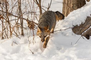 Wall Mural - Grey Fox (Urocyon cinereoargenteus) Steps Forward Off Log Winter