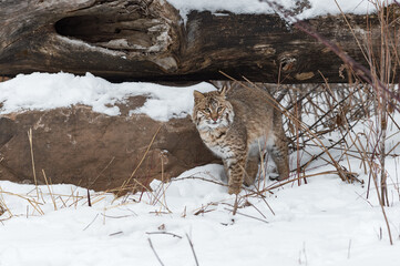 Wall Mural - Bobcat (Lynx rufus) Rubs Up Against Rock Winter