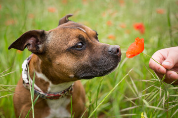 Little dog with a poppy