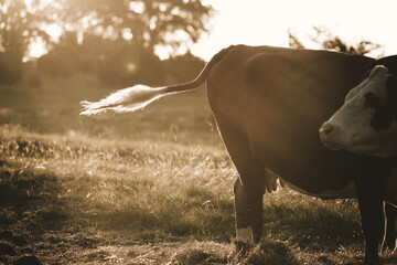 Wall Mural - Hereford cow tail flick during sunrise on farm, ethereal morning light.