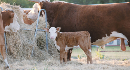 Wall Mural - Hereford bull and calf in pasture eating hay