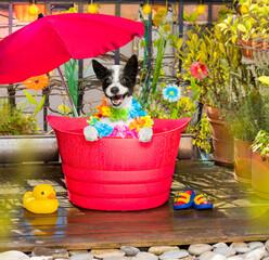dog refeshing in  in a bathtub on balcony